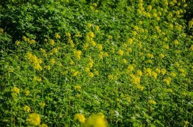 Weißer Senf blüht im Herbst