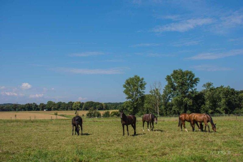 Friedlich grasende Pferde