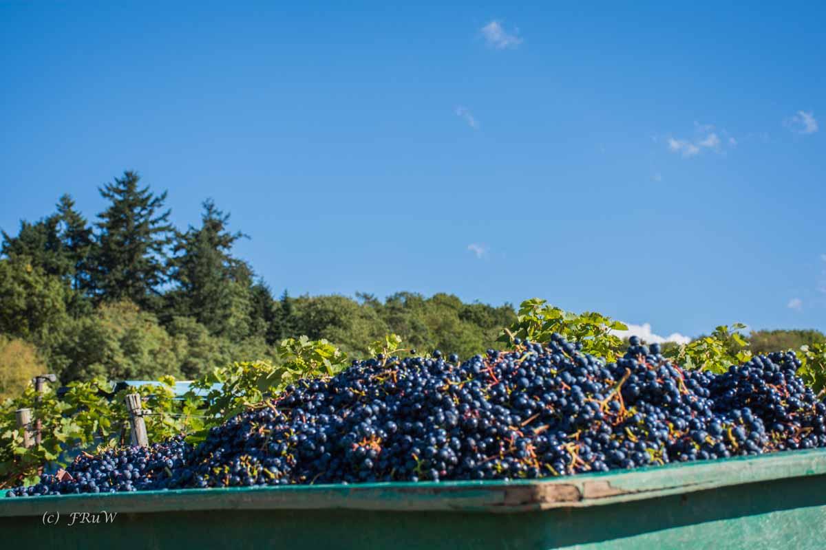 Moselseitensprung - Klüsserather Sagenweg und der Container voller Trauben
