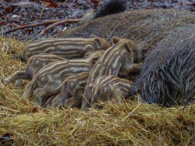 Wildschweingehege Zwischen Wildschweinen und Seenlandschaft