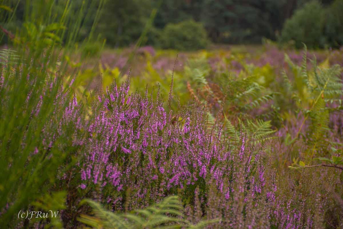 Auch hier blüht sie, ein dicker Busch blühende Heide