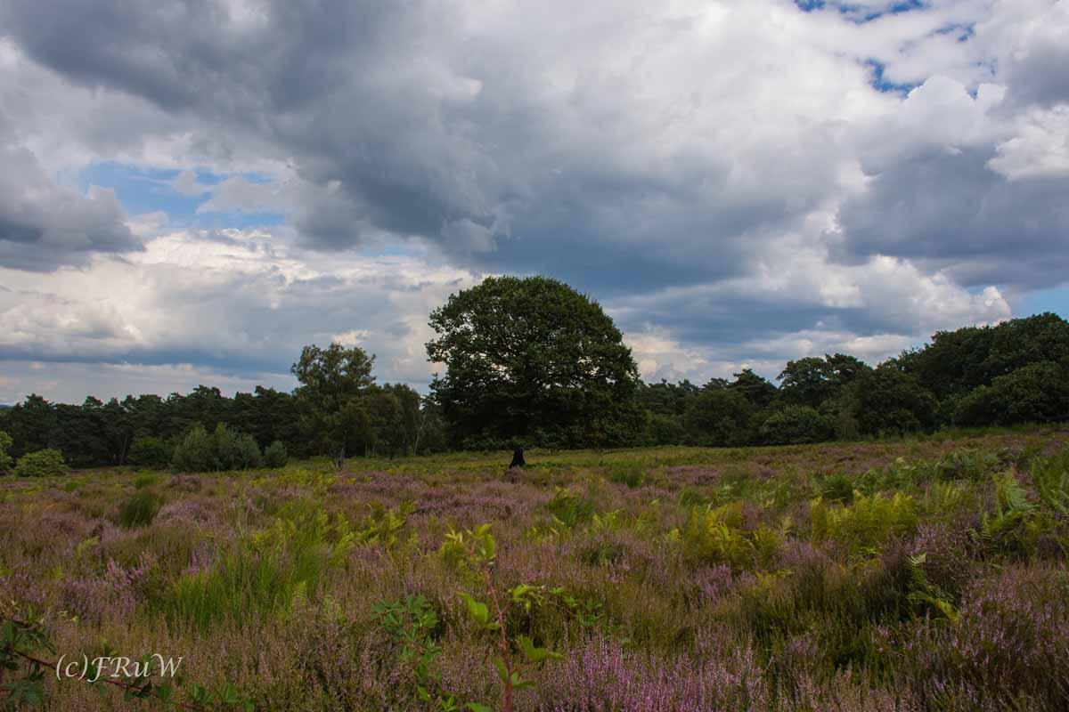 Die Wahner Heide blüht