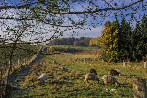 Friedlich grasende Schafherde