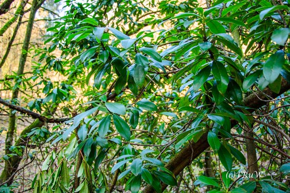 Kirschlorbeer mitten im Wald