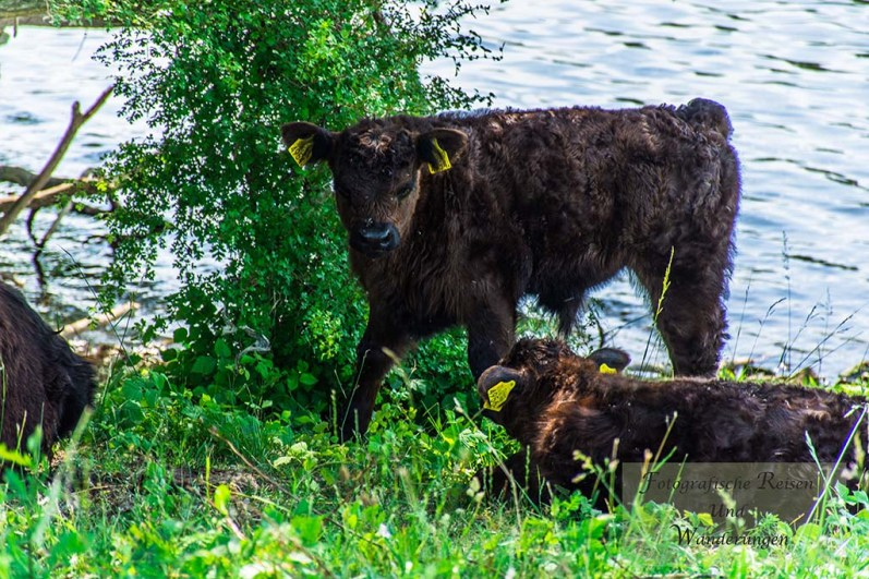 Rinder an der Maas