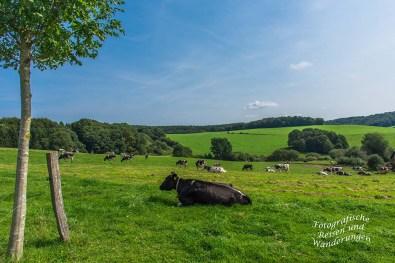 Die Milchkühe haben reichlich Platz auf den Weiden