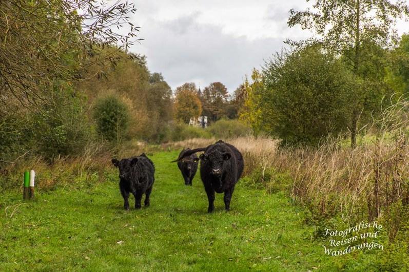 Galloway Rinder am Maasufer