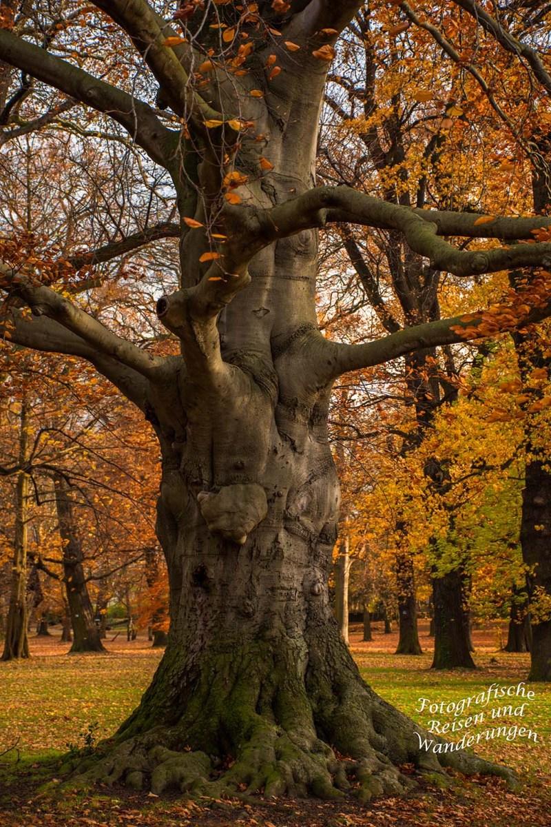 Buche im Schlosspark
