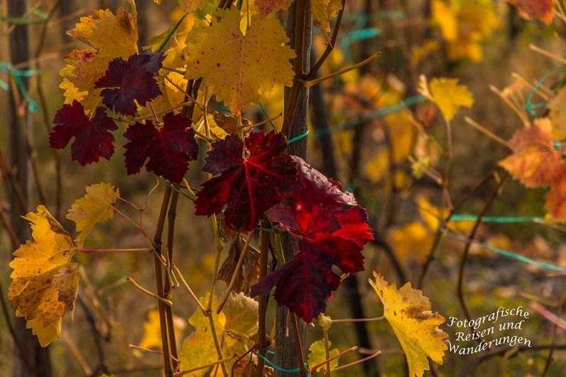 Buntes Herbstlaub an den Reben
