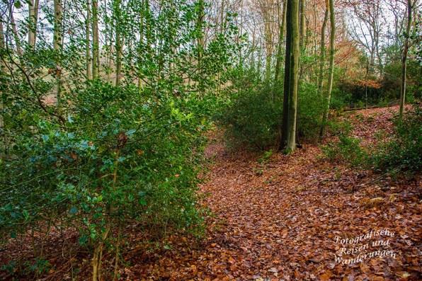 Ilex im Wald