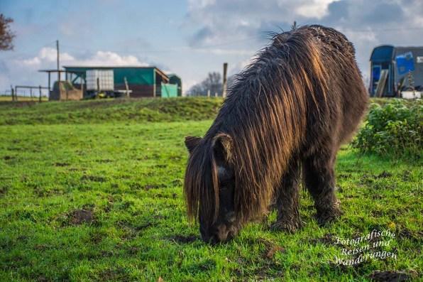 Ponys Gronenberg