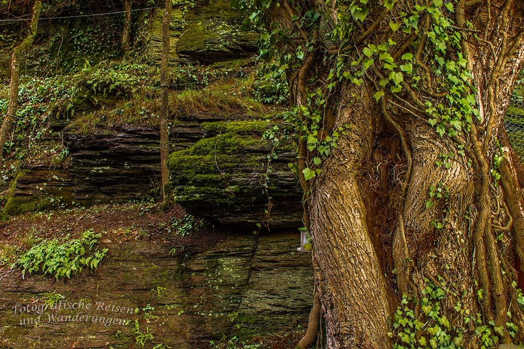 Alter Baum mit Efeu - Am FElsen