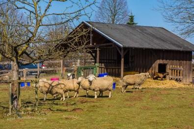 Schafe und Ziegen am Thomashof