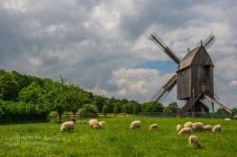 Bockwindmühle und die Bentheimer Landschafe