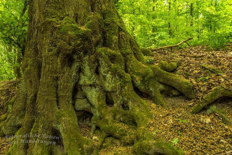 Baumveterane mit ihrem dicken Wurezlwerk