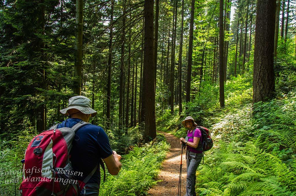 Karlsruher Grat Wald mit Farnen