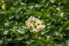KArtoffelblüte