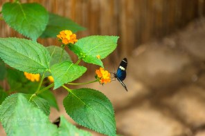 Schmetterlingsgarten Sayn (11)