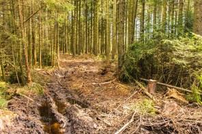 Tiefe Spuren haben die Forstfahrzeuge hinterlassen. Pfützen sammeln sich