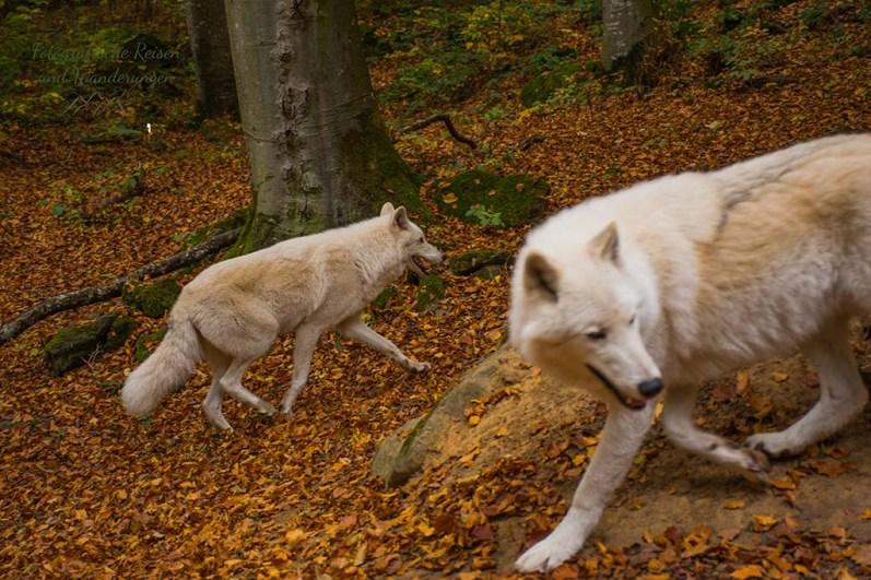 Adler-und Wolfspark Kasselburg (168)
