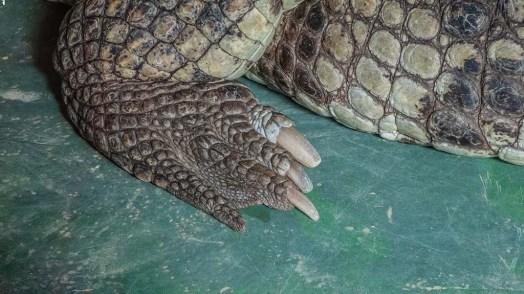 Klaue eines Krokodil