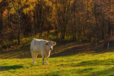 Weiße Kuh auf grüner Wiese
