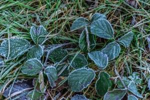 Gefrostete Blätter