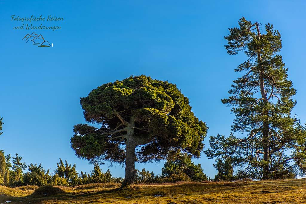 Brokkoliebaum, weil er wie Brokkolie aussieht