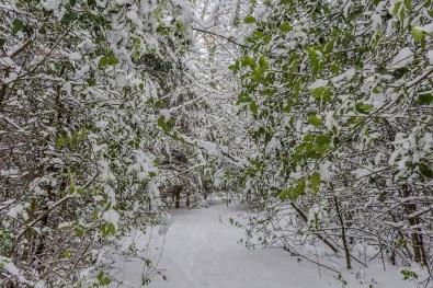 Ilex, das Immergrün der Wälder