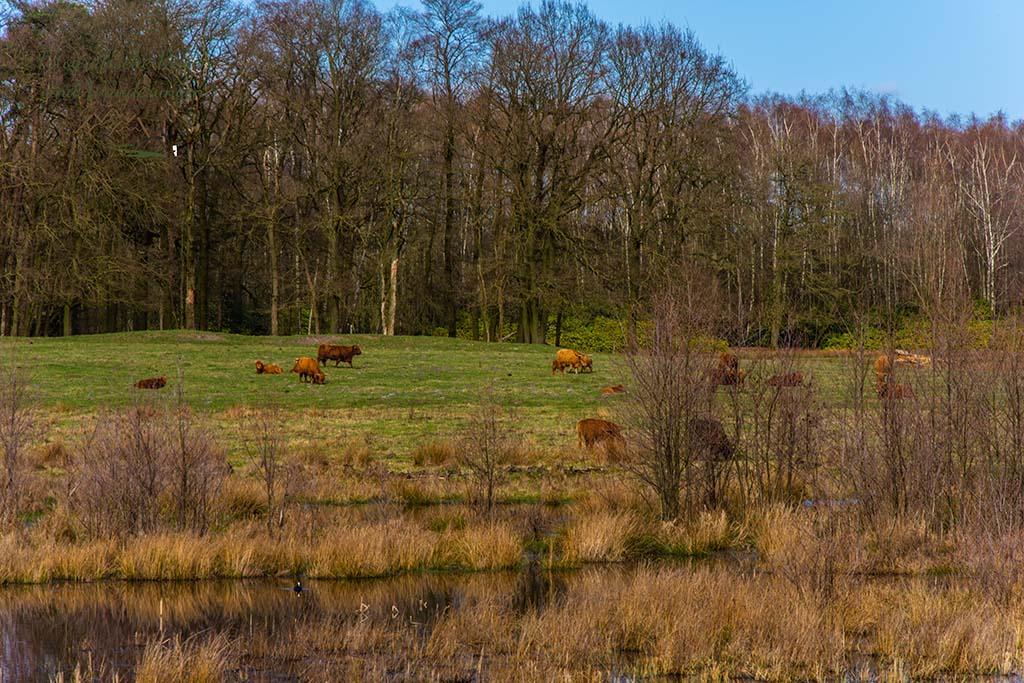 Und noch einmal eine Herde Galloway Rinder