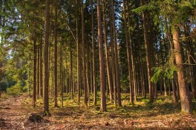 Schöner Tannenwald