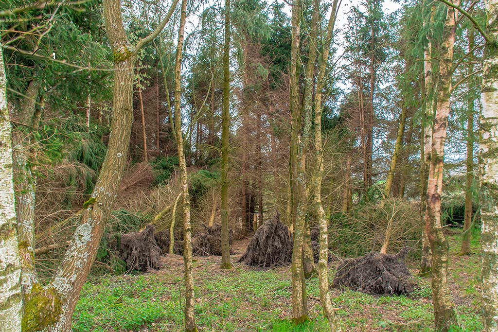 Viele umher liegende Bäume - Eifelsteig Etappe 1