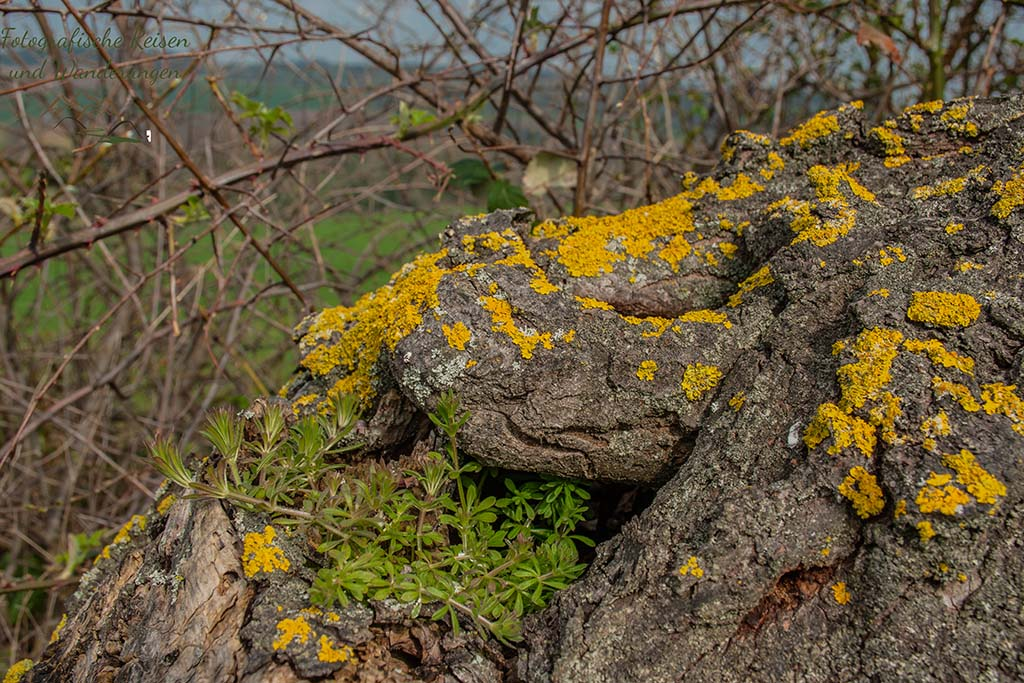 Kuechenschellen in der Zuelpicher Boerde - Flechten am Baum und Strauch
