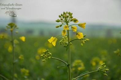 Blüte der Rapspflanze - Auf der Suche nach Küchenschellen in der Zülpicher Börde