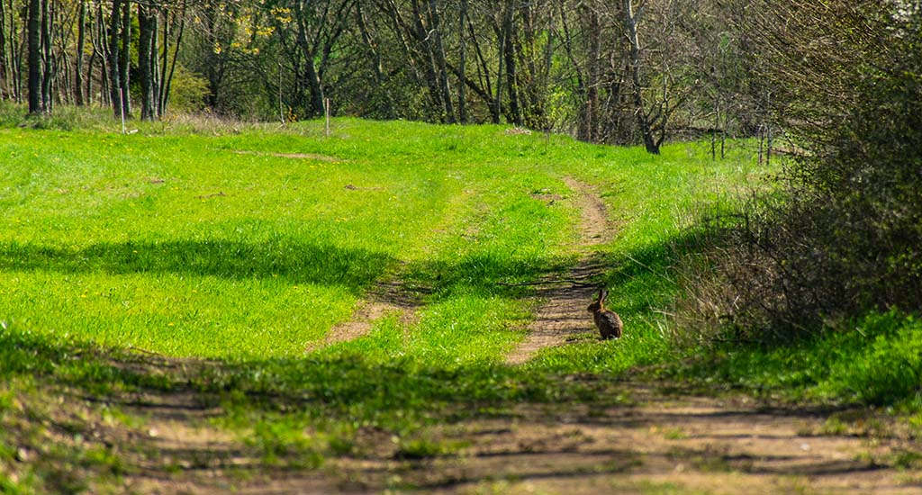 Häschen auf dem Wanderweg