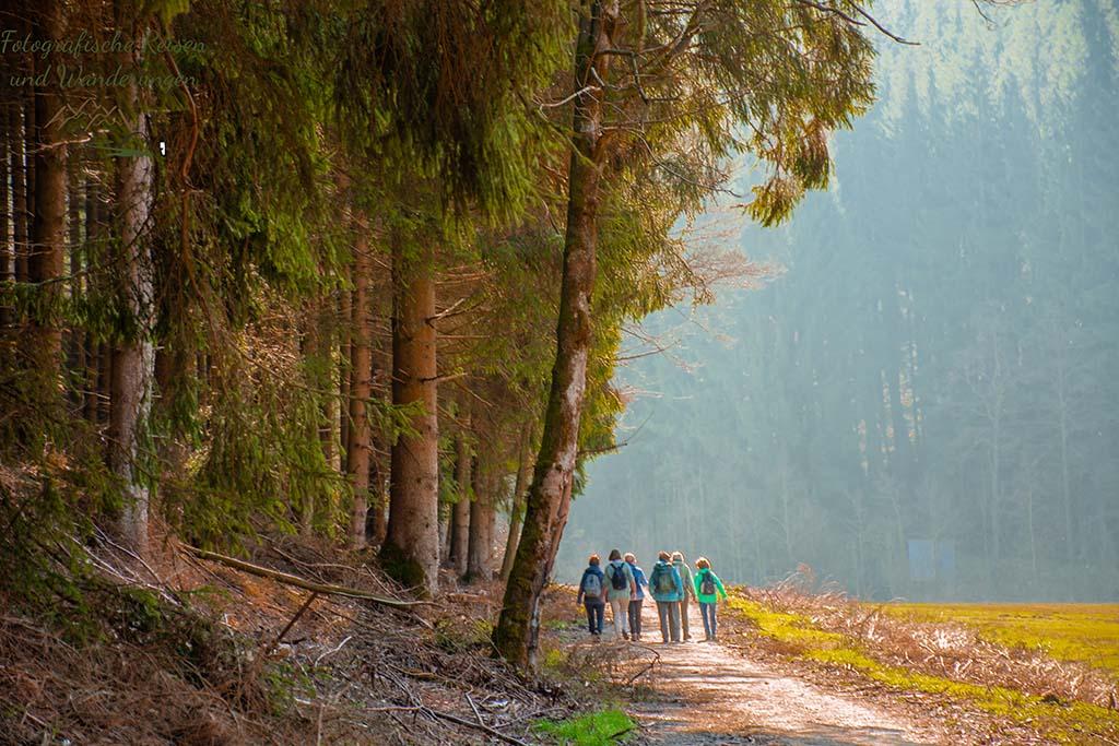 Wilde Narzissen in der Eifel - Morgensonne auf dem Wanderweg