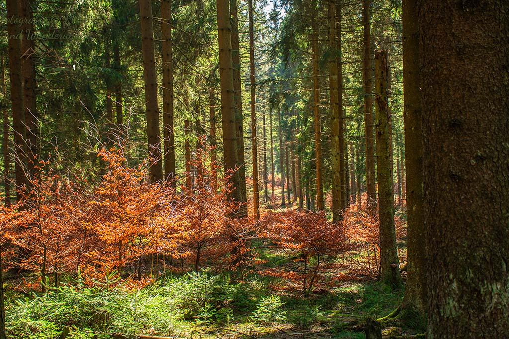Rotbuchen zwischen den Nadelbäumen