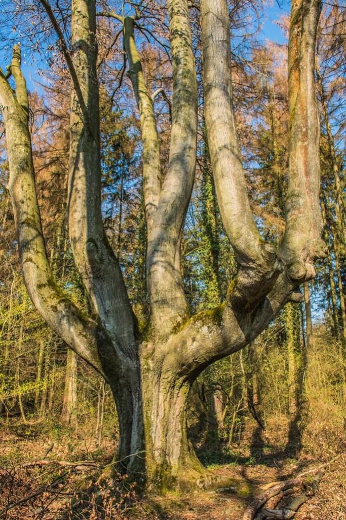 Kopfbuche - Weg der Artenvielfalt