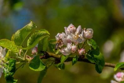 Holzapfelblüte mit Bestäuber