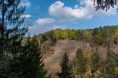 Der Blick auf die gegenüberliegende Seite der Rur offenbart extreme Schäden im Kiefernbestand - Eifelsteig zwischen Monschau und Einruhr