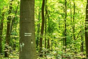 Zeichen an Bäumen für Rückegassen