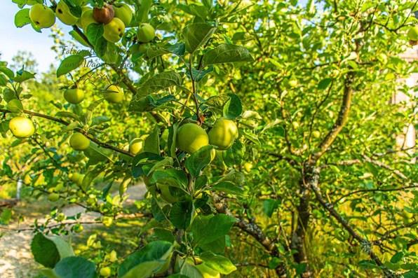 Und grüne Äpfel wachsen hier auch, so ein wenig fühlt es sich an wie Garten Eden