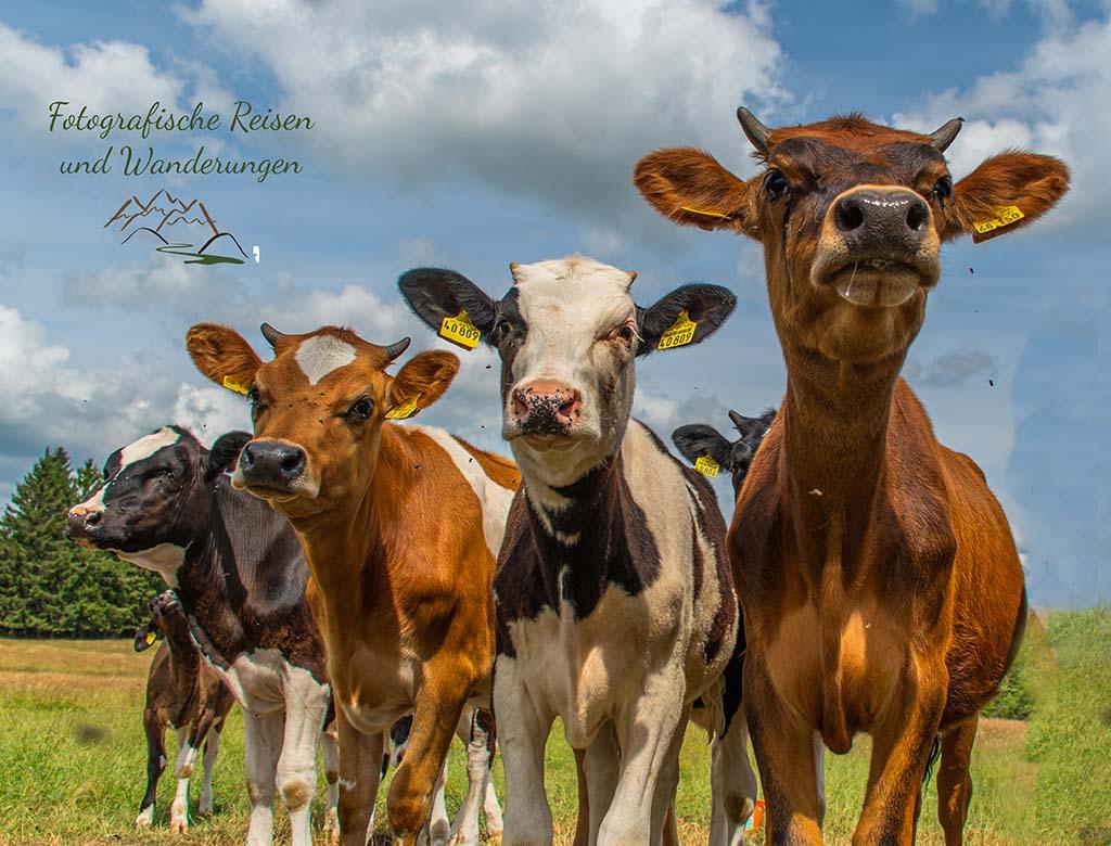 Kühe Fromation