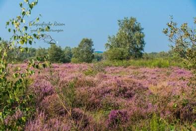 Die Heide blüht - Flächendeckend