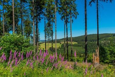 Wandern im Siegerland-Fingerhut