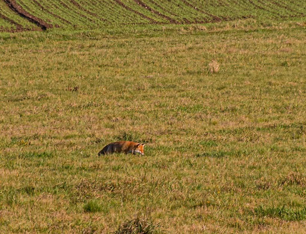 Ein Fuchs auf der Wiese