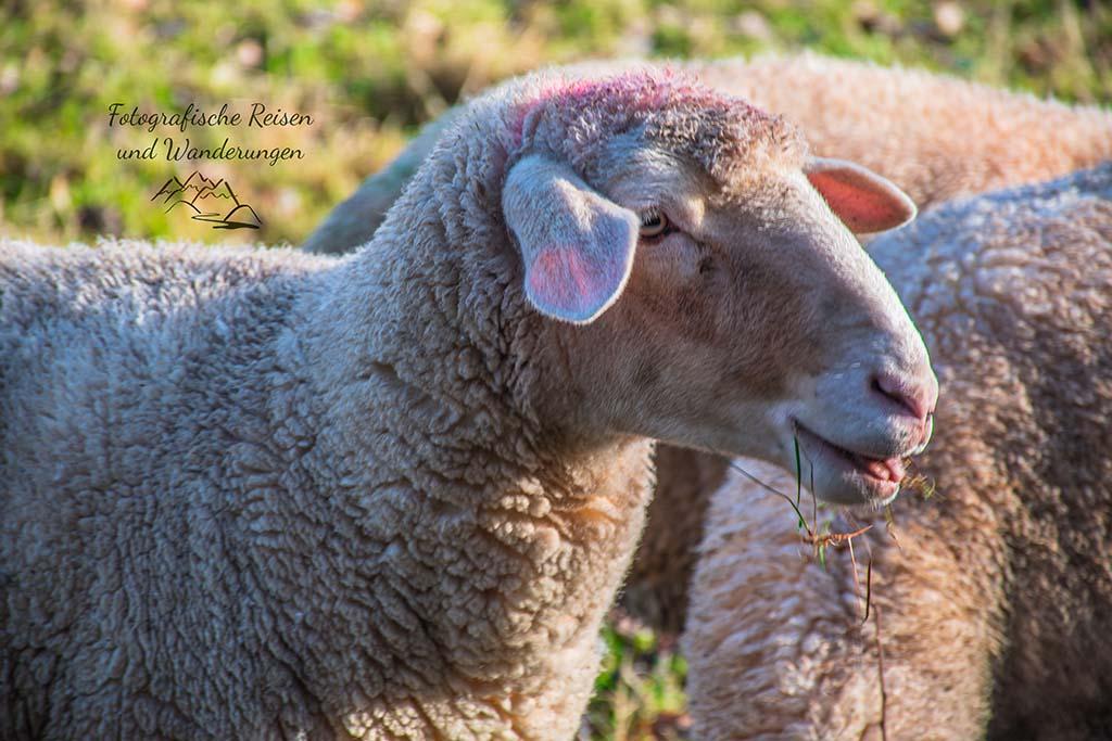 Schafe in der Drover Heide