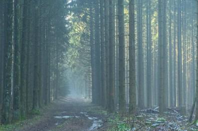 Dunst und grüne Baumstämme - Eifelwinter