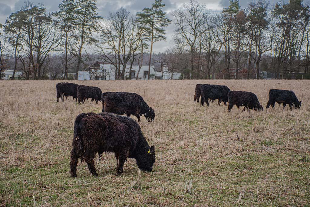 Schwarz gelockte Rinder - EifelSchleife Kommerner Fachwerkidylle
