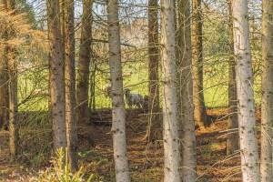 Schäfe gucken durch die Bäume